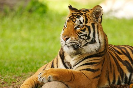 recessive: Bengal Tiger Stock Photo