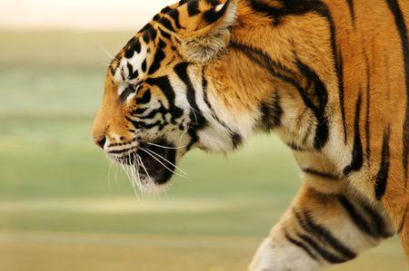 Bengal Tiger Stock Photo