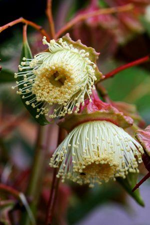 eucalyptus trees: Australian Eucalyptus Flowers Stock Photo