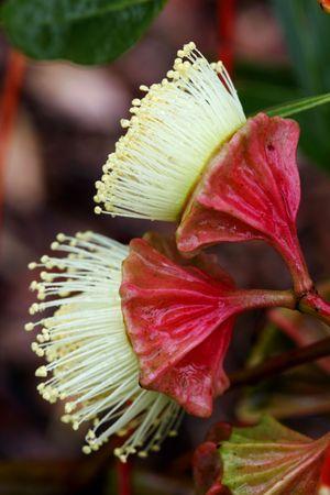 eucalyptus trees: Australian Wildflowers Stock Photo