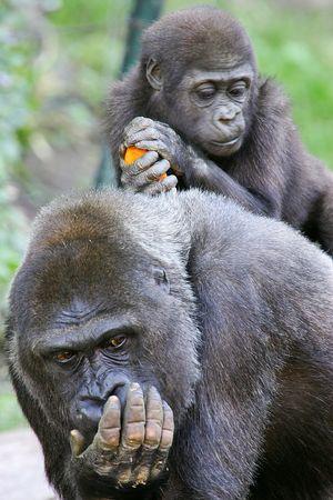 western lowland gorilla: Gorilla gorilla