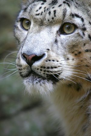 Snow Leopard Stock Photos Royalty Free Snow Leopard Images
