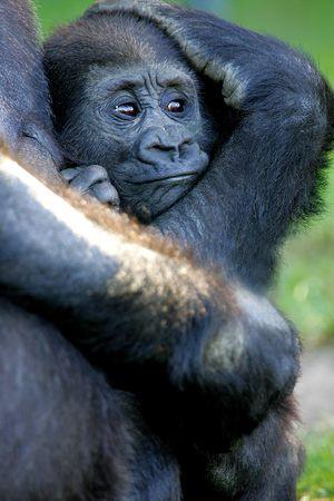 western lowland gorilla: Gorilla gorilla gorilla