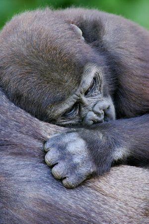 western lowland gorilla: Western Lowland Gorilla