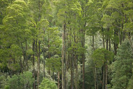 eucalyptus trees: Australian Eucalyptus Trees