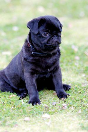black pug: Black Pug Puppy