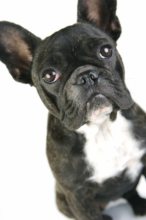 french bulldog: A French Bulldog isolated agaisnt a white background