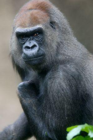 lowland: Western Lowland Gorillas in the wild