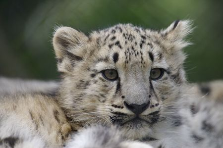 snow leopard: Snow Leopard cubs in the wild Stock Photo