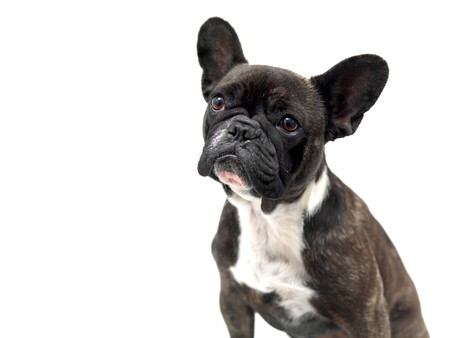 wrinkely: A French Bulldog isolated against a white background Stock Photo