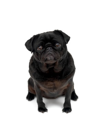 A black Pug isolated against a white background photo