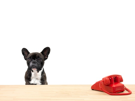 dog days: A french bulldog in an office situation Foto de archivo