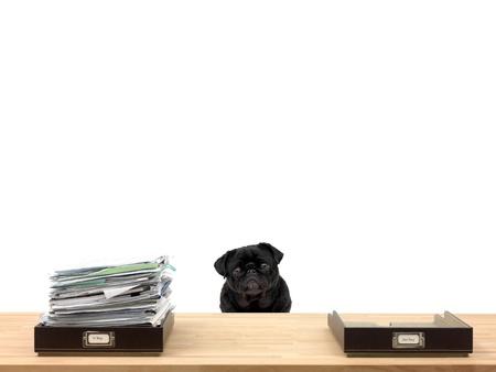 dog days: Dentro y fuera de las bandejas de la oficina en una situaci�n de la oficina y un pug Foto de archivo