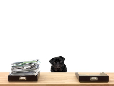 In and out office trays in an office situation and a pug