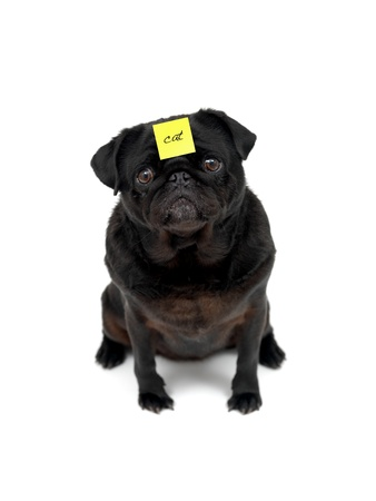wrinkely: A black Pug isolated against a white background