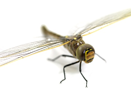 damselfly: A close up shot of a dragon fly on white