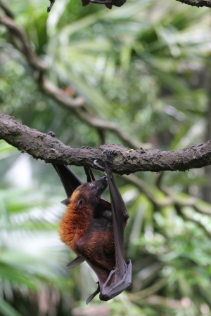 pteropus: A shot of a flying fox in captivity