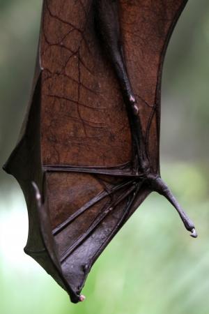 pteropus: Un colpo di una volpe volante in cattivit� Archivio Fotografico