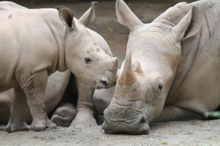 A shot of rhinos in captivity photo