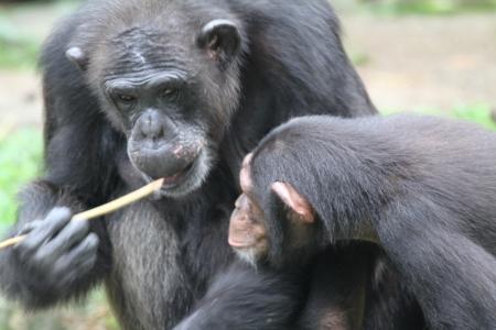 chimpances: Una foto de la fauna de los chimpancés en cautiverio