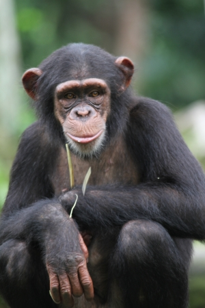 A wildlife shot of chimpanzees in captivity photo