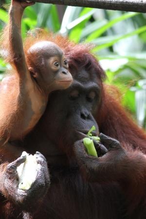 orangutang: A wild life shot of orangutans in captivity