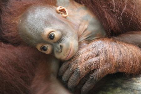 A wild life shot of orangutans in captivity photo