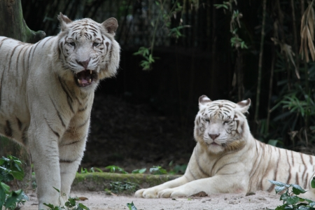 wild life: A wild life shot of a white tiger in captivity