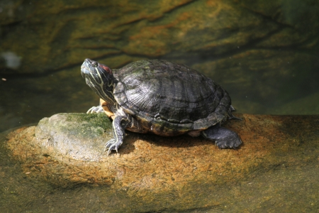 A wild life shot of a turtles in captivity photo