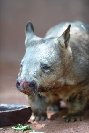 wombat: Un Wombat australiano en su hábitat natural