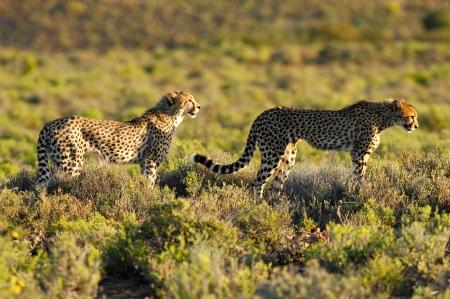 A shot of a wild cheetah in captivity photo
