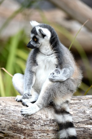 A close up shot of a Ring Tailer Lemur photo