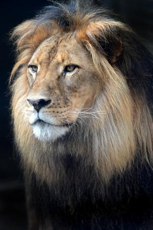 A close up shot of an African Lion photo