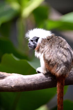 A close up shot of a cotton Top Tamarin photo