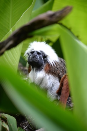 A close up shot of a cotton Top Tamarin Stock Photo - 27488532