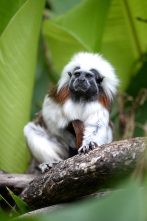 A close up shot of a cotton Top Tamarin Stock Photo - 27488533