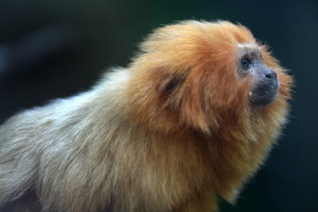 A close up shot of a Golden Tamarin photo