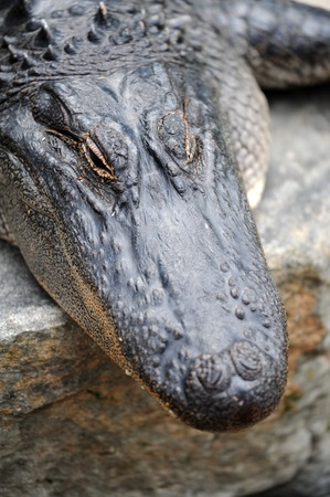 A close up shot of an American Alligator photo