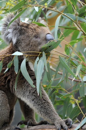 An Australian Koala in its natural habitat photo