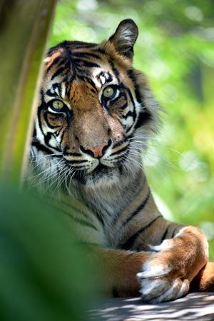 panthera tigris sumatrae: A close up shot of a Sumatran Tiger Stock Photo