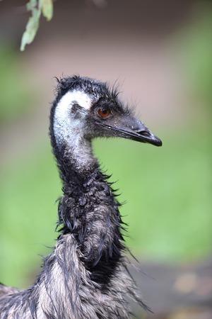 ostrich chick: A close up shot of an Australian Emu Stock Photo