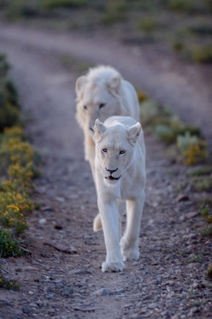 kuru: A shot of white lions in the Kuru national Park