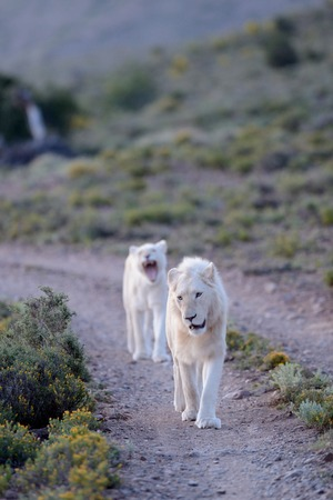 A shot of white lions in the Kuru national Park photo