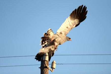 merlin falcon: A shot of an African Harrier Hawk in the wild