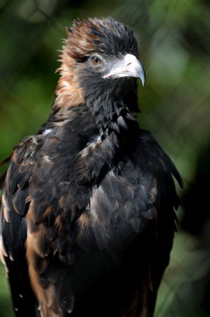 A close up shot of a Australian Wedge Tailed Eagle photo
