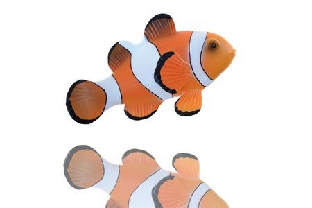 percula: A close up shot of a Clown Fish