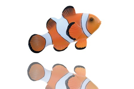 false percula: A close up shot of a Clown Fish