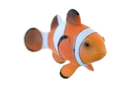 freshwater clown fish: A close up shot of a Clown Fish