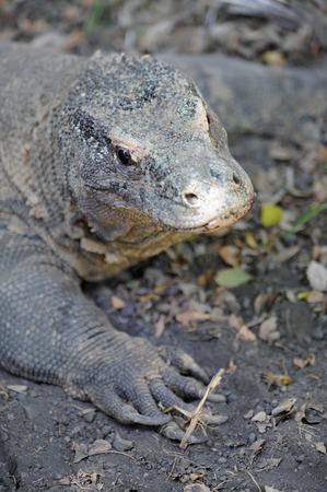 A close up shot of a Komodo Lizard photo