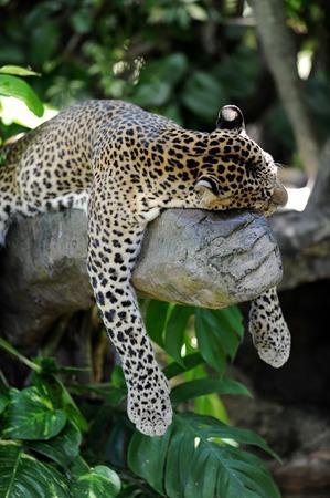 yala: A close up shot of an African Leopard